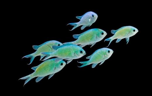 10 Jenis Ikan Chromis Yang Biasanya Ditemukan Dalam Aquarium Air Laut