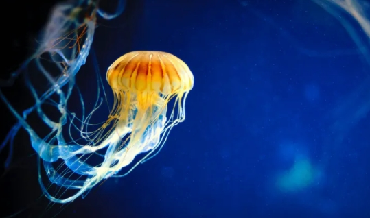 Ubur-Ubur Si Makhluk Cantik Transparan yang Mematikan