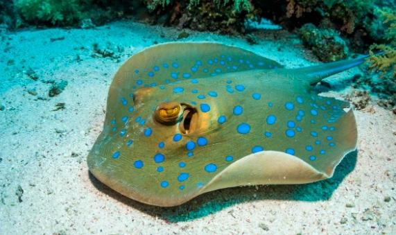 3 Jenis Ikan Pari Yang Umum Di Pelihara Di Aquarium Air Laut