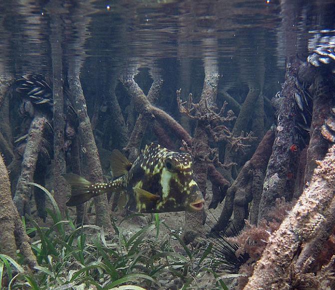 Buffalo Trunkfish (Lactophrys trigonus)