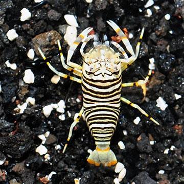 Bumble Bee Shrimp (Gnathophyllum americanum)