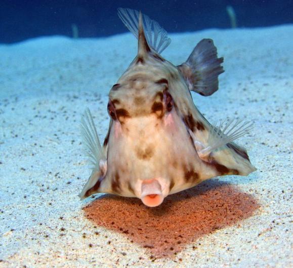 Camel Cowfish (Tetrosomus gibbosus)