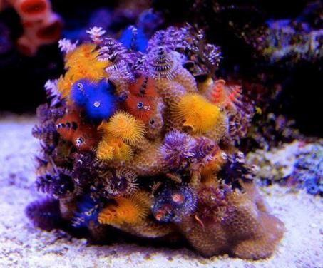 Christmas Tree Worm On Rock Multicolor (Spirobranchus porites)