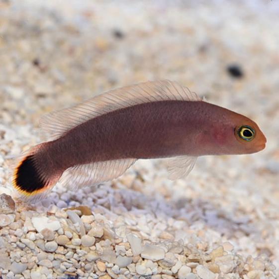 Elongate Dottyback (Pseudochromis elongatus)