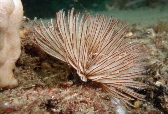 Jenis - Jenis Cacing Kipas Yang Biasanya Ada Di Aquarium Air Laut