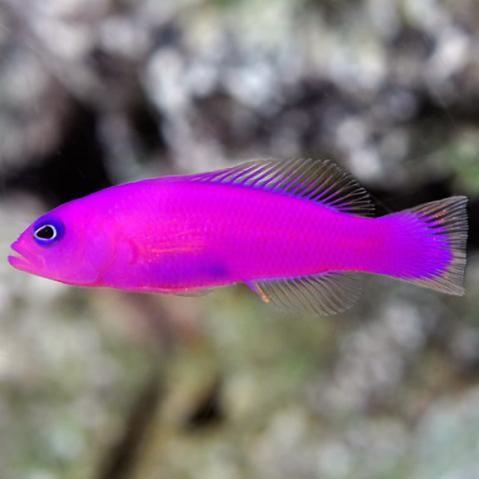 Purple Dottyback (Pseudochromis porphyreus)