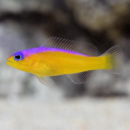 Purple Stripe Dottyback (Pseudochromis diadema)