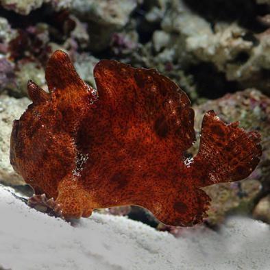 Red Orange Frogfish Angler (Antennarius sp.)