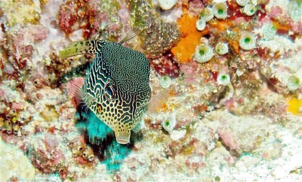 Reticulate Boxfish (Ostracion solorensis)