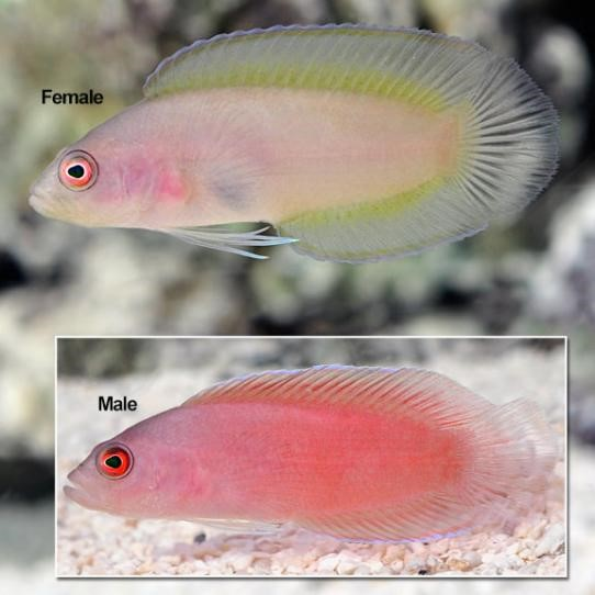 Ring Eyed Dottyback (Pseudoplesiops typus)