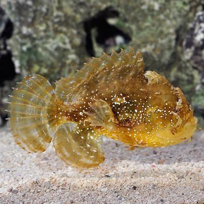 5. Sargassum Fish (Histrio histrio)