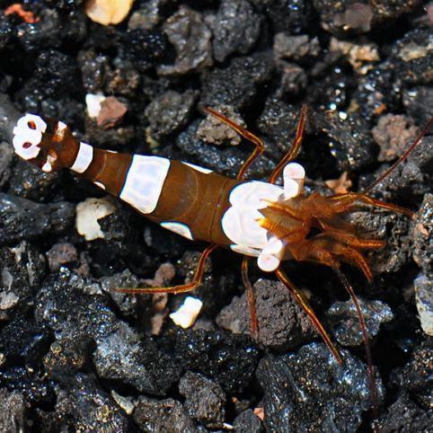 Sexy Anemone Shrimp (Thor amboinensis)
