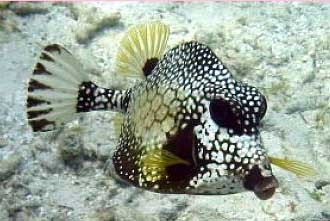Smooth Trunkfish (Lactophrys triqueter)
