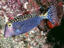 Spotted Boxfish (Ostracion meleagris)