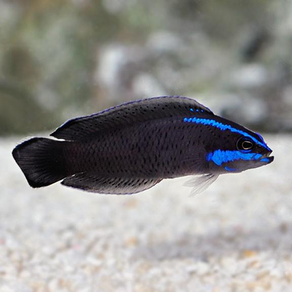 Springeri Dottyback (Pseudochromis springerii)