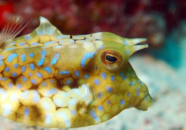 Thornback Cowfish (Lactoria fornasini)