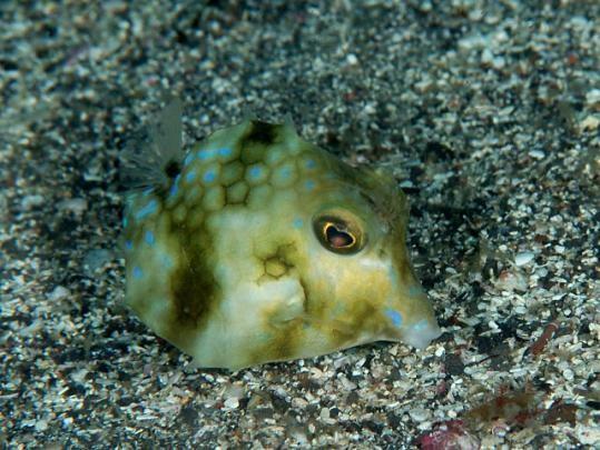 Triangular Boxfish (Tetrosomus concatenatus)