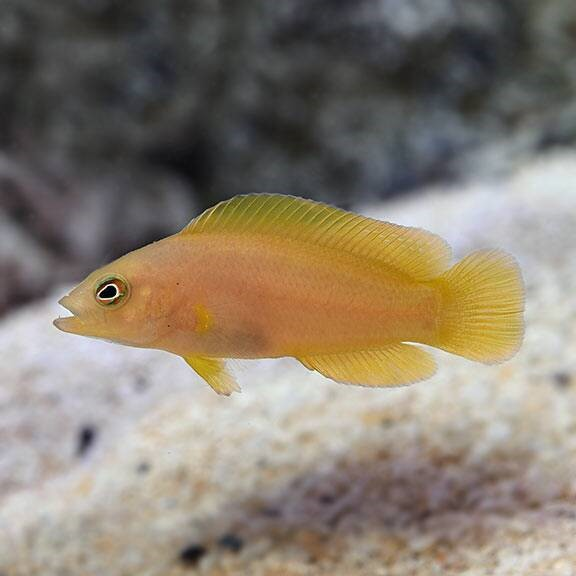 Yellow Dottyback (Pseudochromis fuscus)