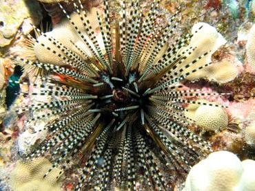 Banded Longspine Urchin (Echinothrix calamari)
