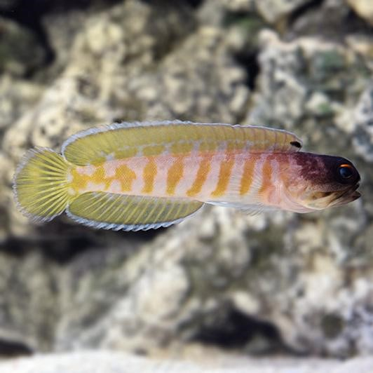 Black Cap Jawfish (Opistognathus randalli)