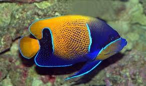 Blue Girdled Angelfish (Pomacanthus navarchus)