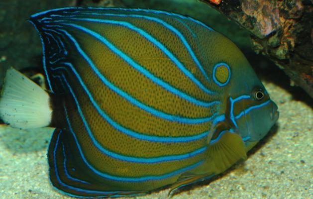 Blue Ringed Angelfish (Pomacanthus annularis)