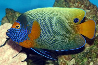 Blueface Angelfish (Pomacanthus xanthometopon)