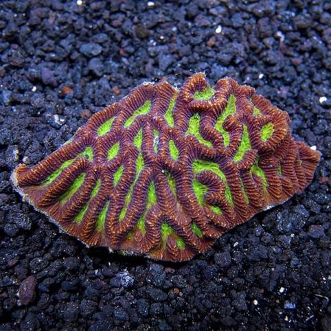 Brain Worm Platygyra Coral