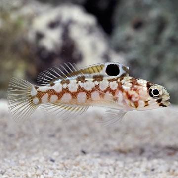 Chinstrap Jawfish (Opistognathus sp)