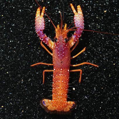 Daum's Reef Lobster (Enoplometopus daumi)