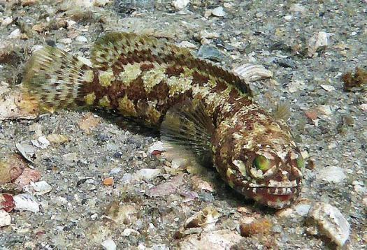 Dusky Jawfish (Opistognathus whitehurstii)