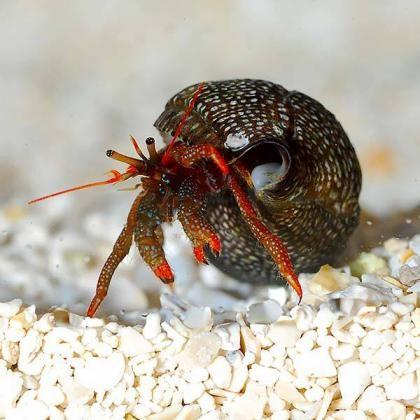 1. Dwarf Red Tip Hermit Crab (Clibanarius sp.)