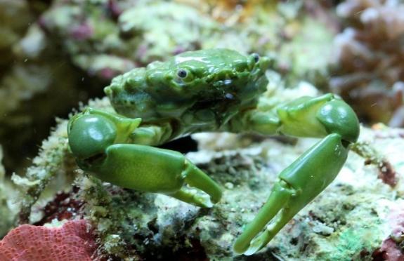 Emerald Crab (Mithraculus sculptus)