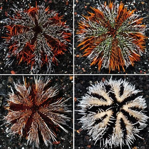 Hairy Pincushion Urchin (Tripneustes gratilla)