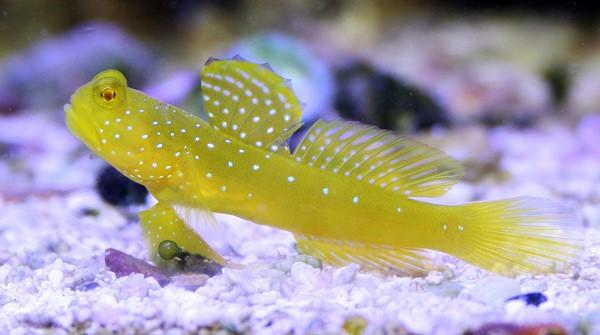 Ikan Goatfish dan Gobbies
