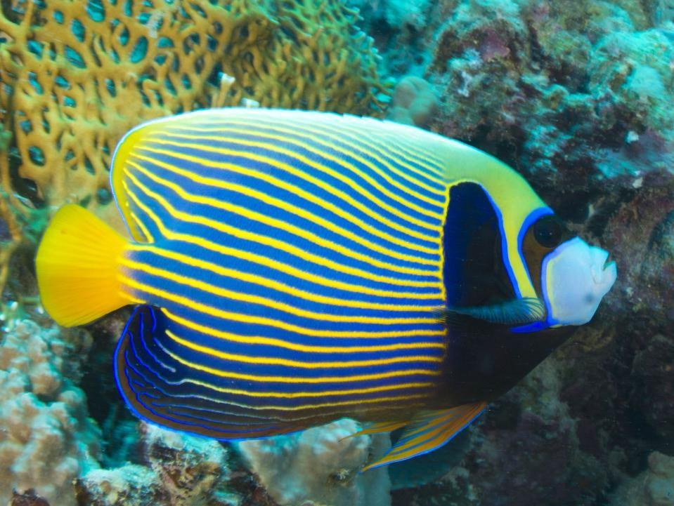 Jenis Ikan Angel Yang Biasa Dipelihara Dalam Aquarium Air Laut (Part 1)