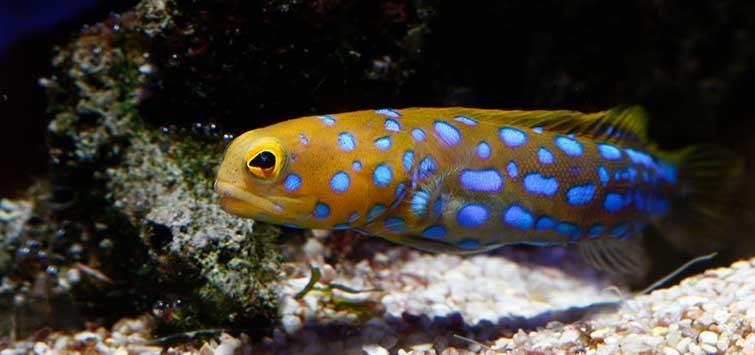 Jenis-Jenis Ikan Jawfish Yang Dipelihara Dalam Aquarium Laut