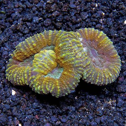 Lobophyllia Brain Coral