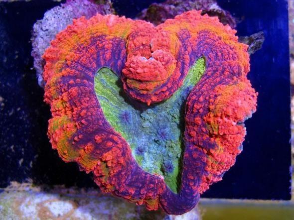 Orange & Purple Open Brain Coral