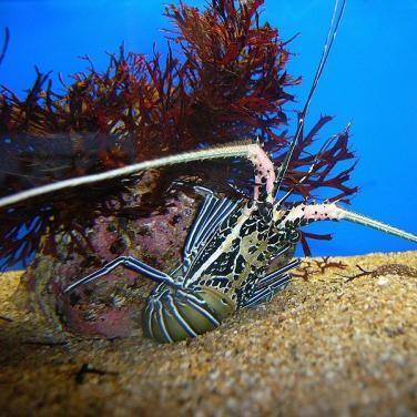 Painted Rock Lobster (Panulirus versicolor)