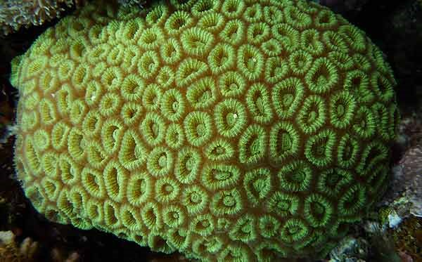 Pineapple Brain Coral