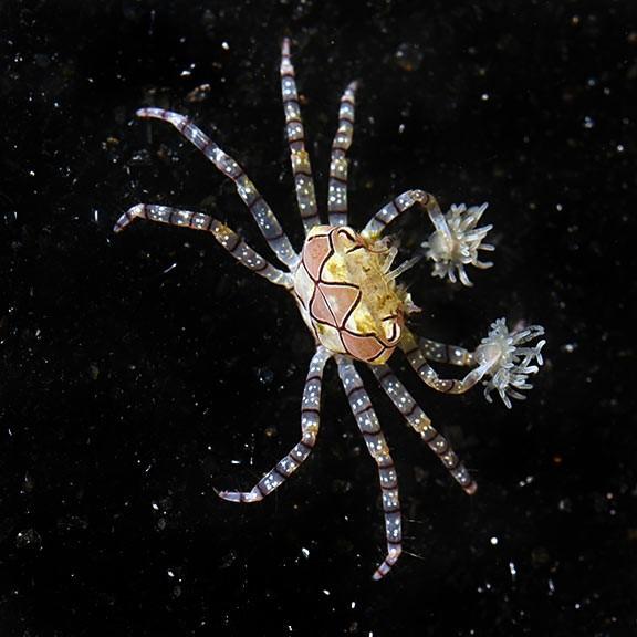 Pom Pom Crab (Lybia sp.)