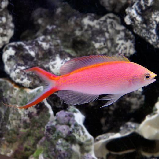 Princess Anthias (Pseudanthias smithvanizi)