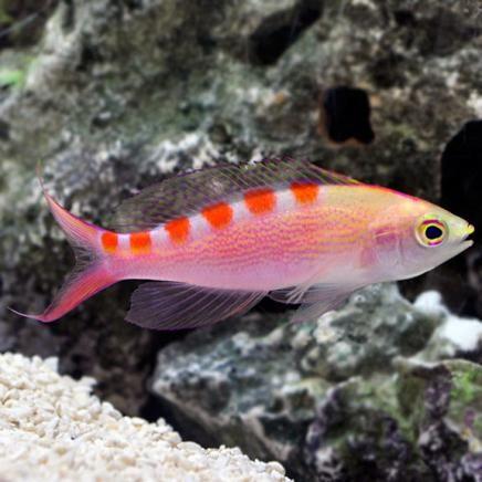 Red Saddled Anthias (Pseudanthias flavoguttatus)