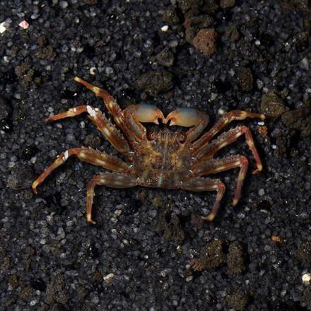 Sally Lightfood Crab (Percnon gibbesi)