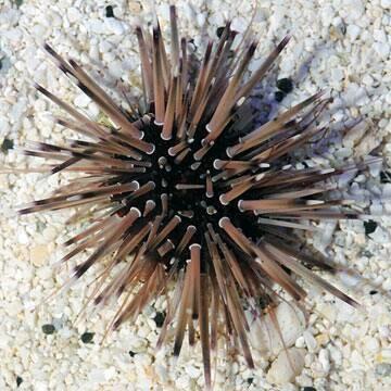 Shortspine Urchin (Echinometra sp.)