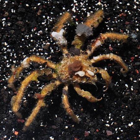 Spider Decorator Crab (Camposcia retusa)