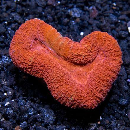 Super Red Open Brain Coral