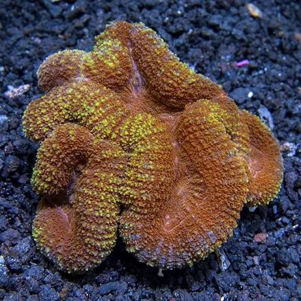 Symphyllia Colored Barin Coral