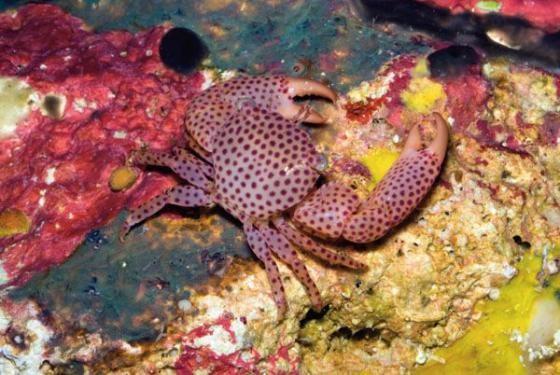 Trapezia Pocillopora Arcopora Crab (Trapezia sp.)